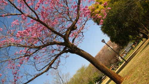 Pink explosions in September (Cherry blossoms?) precede the purple dominance of Jacaranda trees in October.